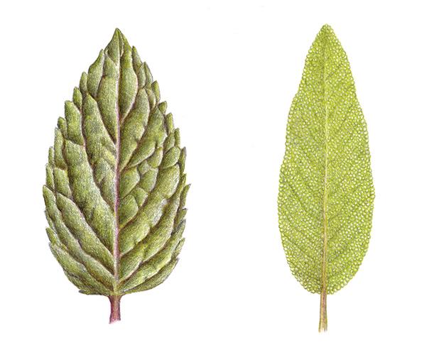 a_feuilles